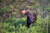 Moose Profile 49953