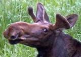 Curious Moose 02925 (crop)
