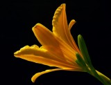Lily 03518
