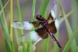 Dragonfly 20090804