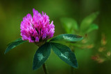 Red Clover 50109