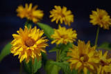 Yellow Flowers 05419