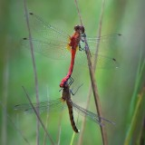 Coupled Dragonflies 50823