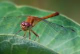 Dragonfly On A Leaf 50828