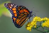 Monarch Butterfly 20090910