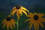 Sunstruck Black-eyed Susan 51287