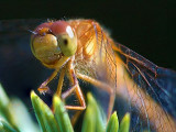 Dragonfly On A Pine 51422-3