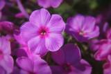 Pink Phlox 08039