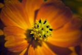 Orange Flower 51466