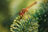 Dragonfly On A Pine 51428