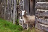 Goat In A Door 06328