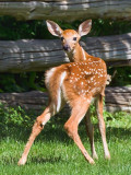 Fawn Looking Back 53897