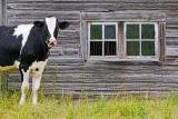 Cow Beside Barn Windows P1010976