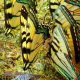 Tiger Swallowtails P1010462
