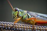 Grasshopper Closeup 54245.50