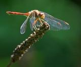 Dragonfly 54279