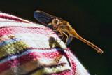 Dragonfly On A Shoulder 54286