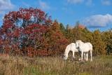 Two White Horses 20101017