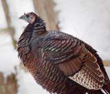 Wild Turkey 20110111