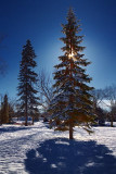 Pines In A Park 04963