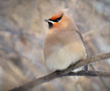 Perched Waxwing 05250
