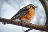 First Robin Of Spring 20110212