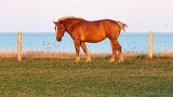 Horse By The Sea 27904