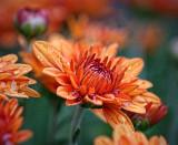 Orange Mum 20120921