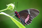 Black Butterfly 28241