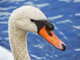 Mute Swan Portrait 20121015