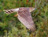 Hawk In Flight 29713