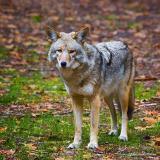 Coyote 20051206