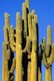 Really Complex Saguaro