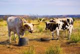 Texas Longhorns 32941