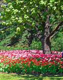 Tulips & Tree Art