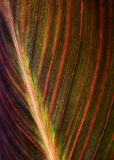Canna Leaf 20060729