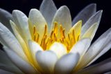 Water Lily 20060805