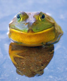 Frog Face 61260