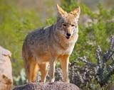 Coyote 84887