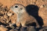 Round-tailed Ground Squirrel 85468