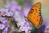 Butterfly On Purple Flower 20080304