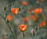 Orange Desert Wildflower 86368