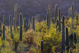 Backlit Saguaros 86139