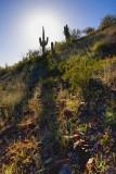 Sun & Saguaro 86127