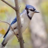 Blue Jay 88885