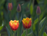Sunstruck Red & Yellow Tulip 88990
