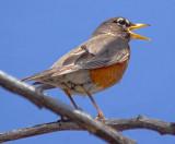 American Robin Singing 89134