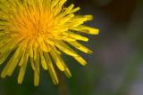 Sunstruck Dandelion 20080513