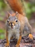 Curious Red Squirrel 88796