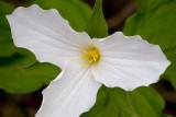 White Trillium Closeup 89243